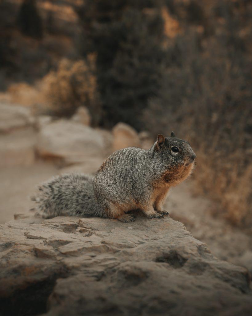 arizona squirrel